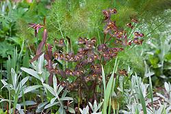 Euphorbia dulcis 'Chameleon' amongst fennel in the seaside garden at Glebe Cottage