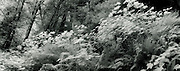 Forest, Redwood National Park, black and white infra-red, Panorama