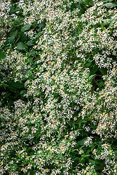 Eurybia divaricata syn. Aster divaricatus, Aster corymbosus  - White wood aster