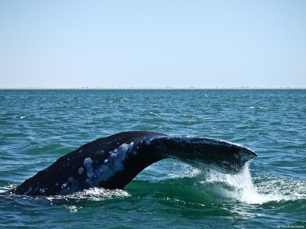 Grey whale at the southern end of the migration, in Baja