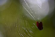 Parauapebas_PA, Brasil...Detalhe de uma aranha apanhando uma presa em sua teia, na Floresta Nacional de Carajas, Para...Detail of a spider catching its prey in its web, the National Forest of Carajas, Para...Foto: JOAO MARCOS ROSA / NITRO