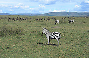 Kenya, Masai Mara a herd of common zebra (equus granti)