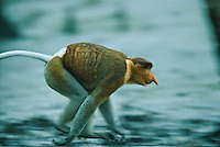 A male proboscis monkey runs after his harem in Bako National Park.