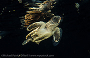A Loggerhead Sea Turtle hatchling, Caretta caretta, difts in the Gulf Stream current far offshore Palm Beach, Florida, United States.