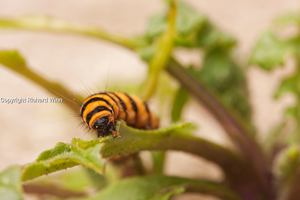 Macro view of a caterpillar of the cinnabar moth on a leaf in a back garden.