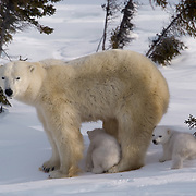 A polar bear mother and cub (Ursus maritimus) pass through a spruce forest in Wapusk National Park while on their way to Hudson Bay. It's early March and the temperatures are -46F; this is the time mother and cubs merge from the den. Manitoba, Canada
