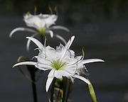 Image of a cahaba lily