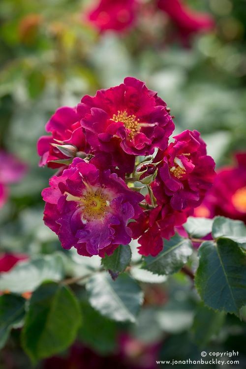 Rosa Wild Rover = 'Dichirap' AGM