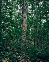 Woodpecker Tree in Mackinaw State Forest. Image taken with a Nikon D200 camera and 18-75 mm kit lens.