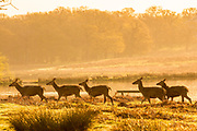 UNITED KINGDOM, London: 18 April 2018 Red deer enjoy the rays of a warm sunrise in Richmond Park this morning. Londoners will be enjoying the weather today as temperatures are set to reach a high of 25 degrees Celsius in the capital. Rick Findler / Story Picture Agency