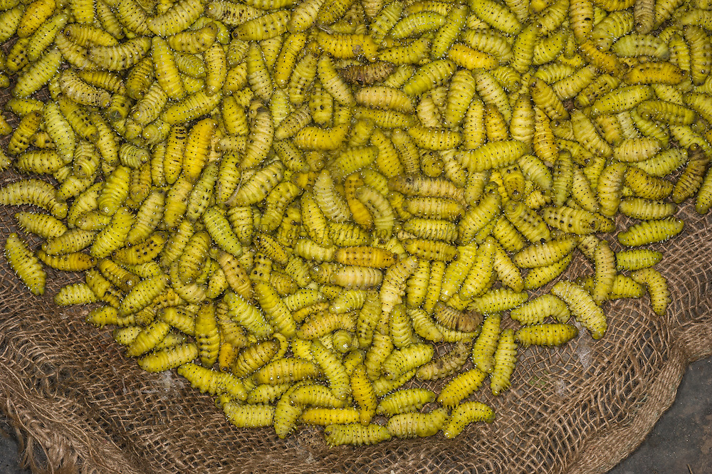 Silkworms sold in market for food<br /> Apatani Tribe<br /> Ziro Valley, Lower Subansiri District, Arunachal Pradesh<br /> North East India