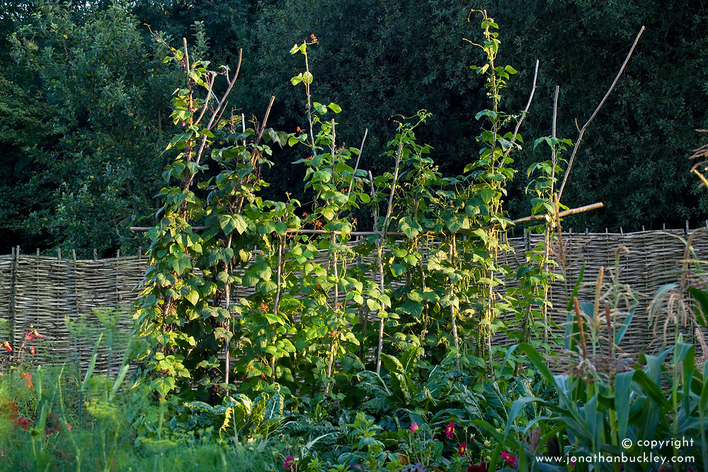 Evening light on runner beans in the vegetable garden.. Rustic pole and string support
