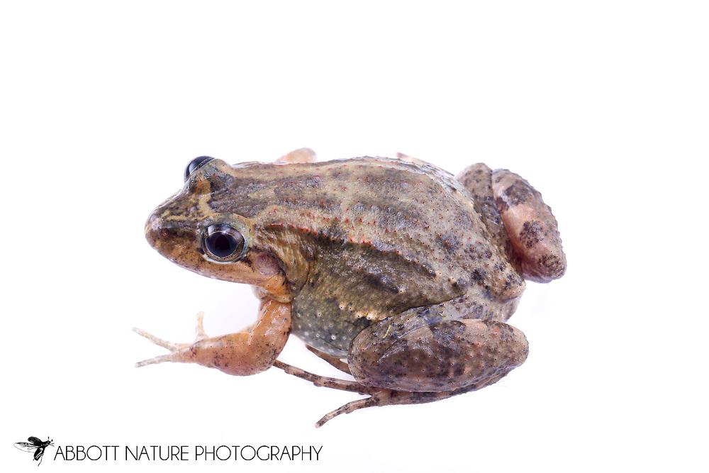 Sabinal Frog, Fringe-toed Foamfrog, Black Jungle-Frog, Mexican River Frog, Black-backed Frog (Leptodactylus melanonotus)<br /> BELIZE: Cayo District <br /> Ian Anderson's Caves Branch Lodge near Armenia<br /> 7-Sep-2014<br /> J.C. Abbott &amp; K.K. Abbott