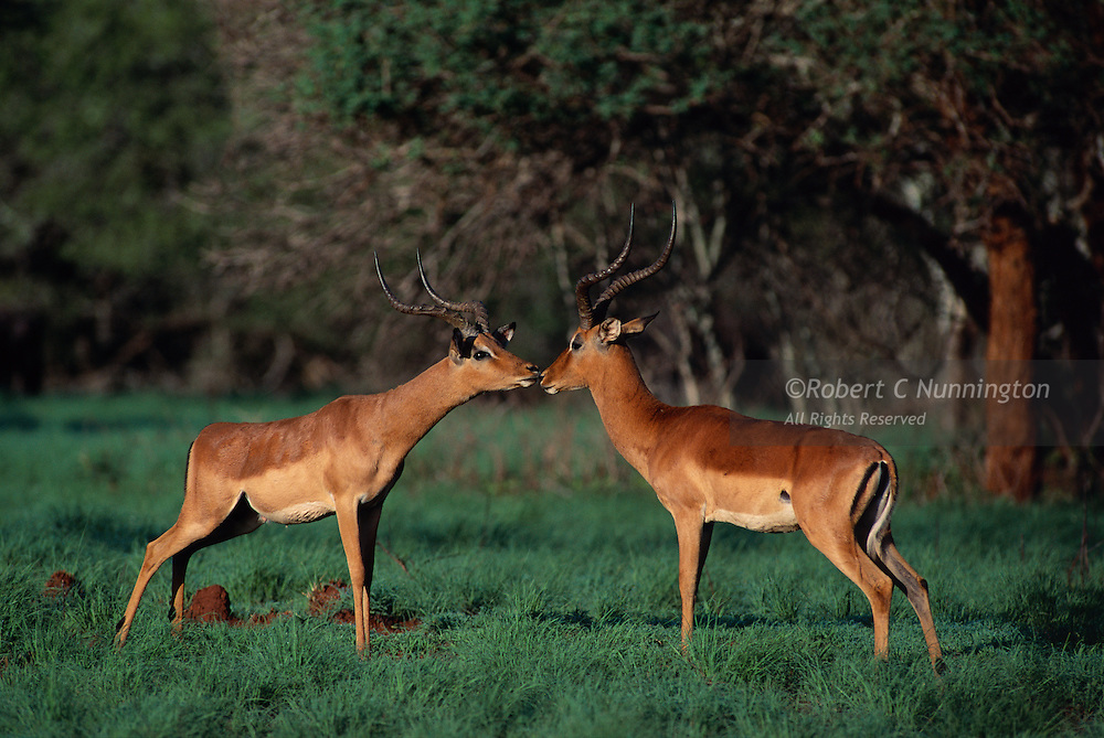 Two impala rams sizing each other up during the rut.