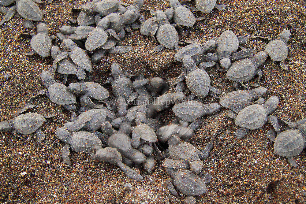Hatchling Olive Ridley Turtles (Lepidochelys olivacea) emerging from nest. <br /> Ostional Beach, Guanacaste, Costa Rica. <br /> <br /> For pricing click on ADD TO CART (above). We accept payments via PayPal.
