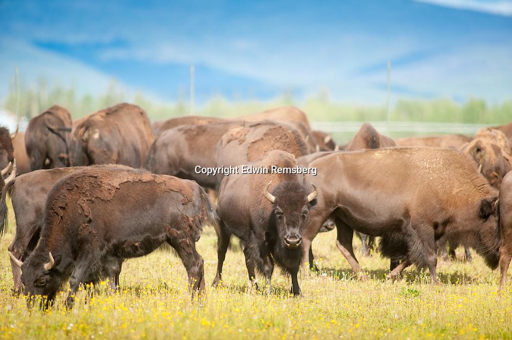 Herd of bison (bison bison) gathered in an open field near Delta Junction Alaska