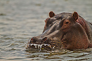 A pod of Hippopotamuses (hippopotamus amphibius) in a waterhole. Although these animals are gregarious and often live in big groups, they are not very social animals and often fight amongst each other. Photographed lake Kariba along the Zambezi river, Zimbabwe.