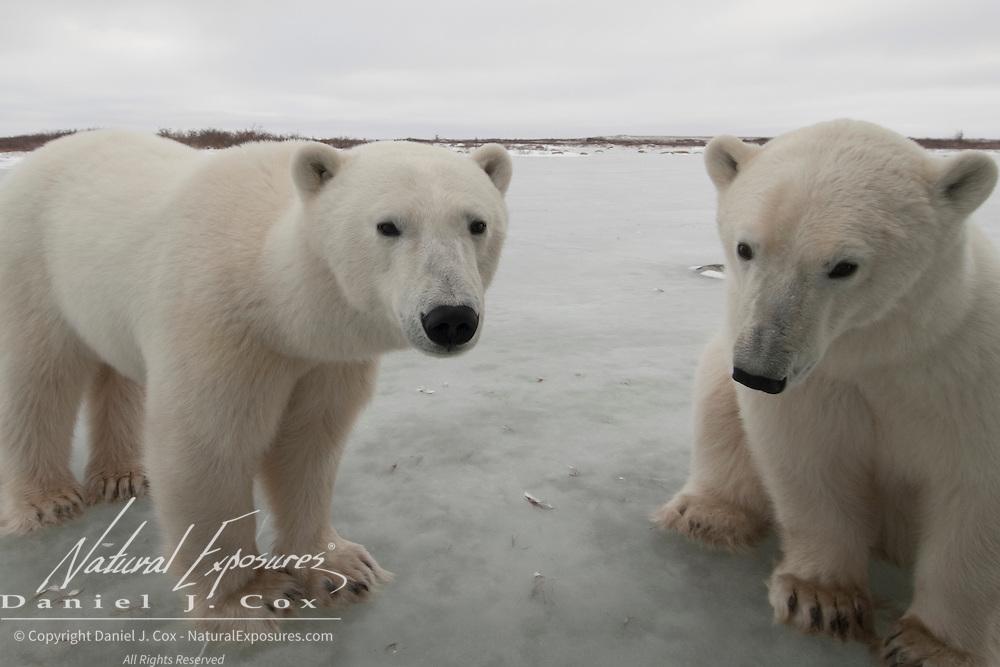 Polar Bear (Ursus maritimus). Churchill, Manitoba, Canada