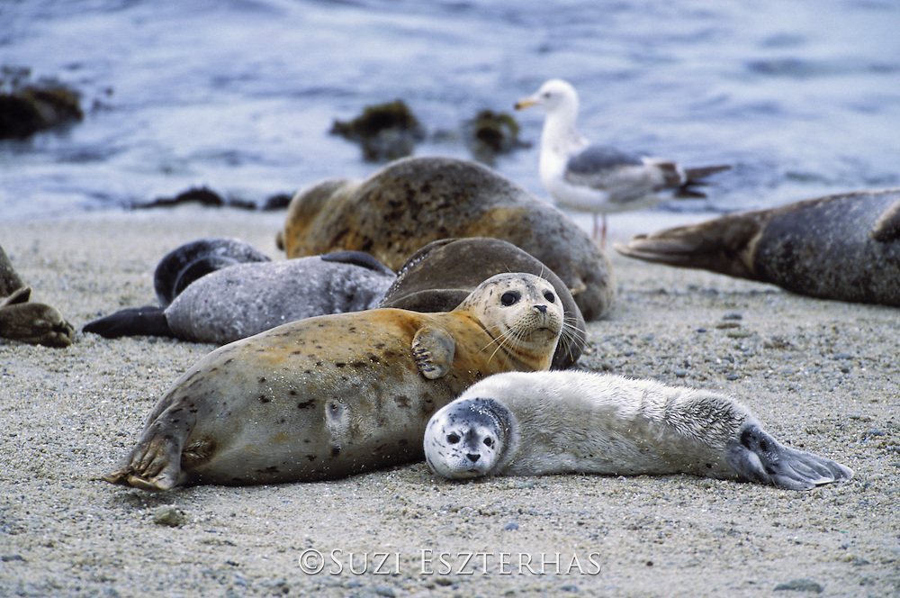 Pacific Harbor Seal<br /> Phoca vitulina<br /> Mother and newborn pup with lanugo (natal) coat<br /> Monterey Bay, CA