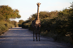 NAMIBIA ETOSHA 30APR14 - An Angolan giraffe crosses a gravel road near Namutoni, Etosha National Park, Namibia.<br /> <br /> <br /> <br /> jre/Photo by Jiri Rezac<br /> <br /> <br /> <br /> © Jiri Rezac 2014