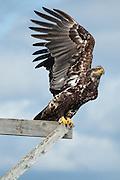 Bald Eagle (immature) photographed near Bellingham, Washington state