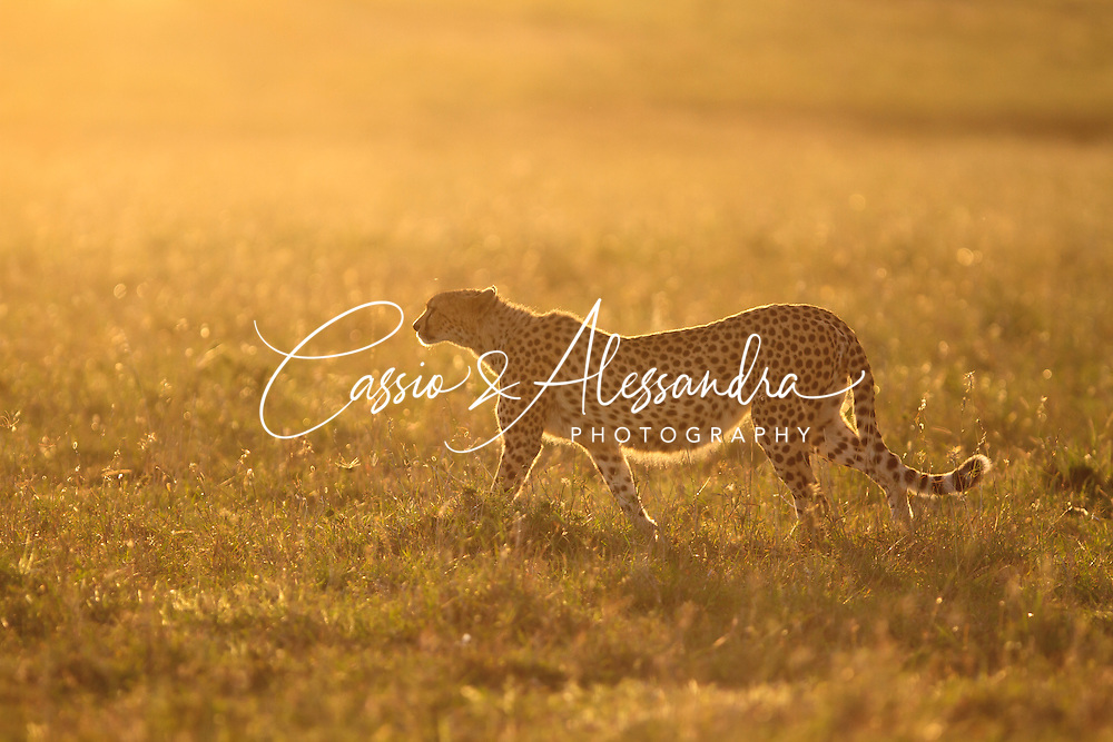Kenya - Maasai Mara - Cheetah - Acinonyx jubatus - Manage following this cheeath before sunset and by the time the sun was really low, she walked torwards it and then the idea of backlit shot came up. Aimi on the light grass behind her I could obtain this beautiful contrast.