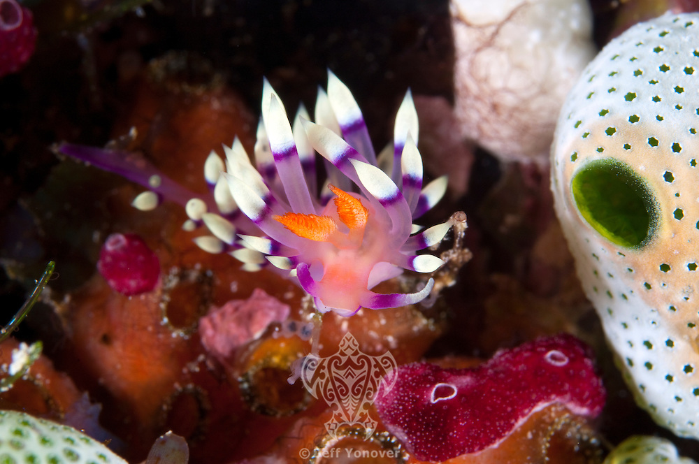 Flabellina Nudibranch and Tunicates.Shot in West Papua Province, Indonesia