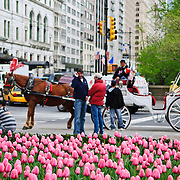 Tulips and carriages in New York's Central Park in the spring.