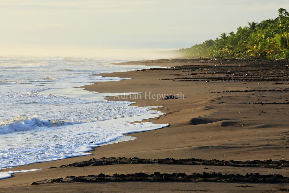 Tracks of green turtle (Chelonia mydas) coming ashore to lay eggs in Tortuguero National Park, Caribbean coast, Costa Rica.