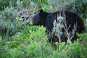 Usus americanus, a black bear, in Grand Teton National Park near Jackson Hole, Wyoming.