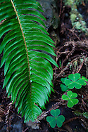 A fern grows along the forest floor, forever in the shadow of the dominant redwoods, Muir Woods National Monument