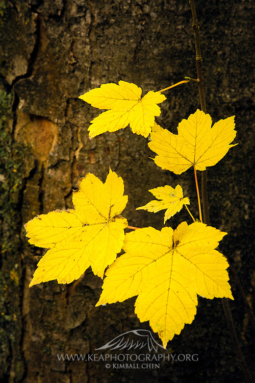 A patch of golden leaves contrasted against the bark of a tree in autumn, at Arrowtown, New Zealand.