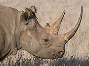 Black rhino with oxpeckers. Any time spent with these rare, prehistoric-looking creatures is a privilege. Poaching has  reached an unsustainable level, and these critically endangered titans of the natural world need immediate help to survive.