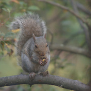 A squirrel preparing to enjoy a snack outside my window.  Hillsborough, NJ
