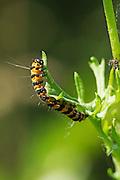 Cinnabar moth caterpillar feeding on a common ragwort leaf.