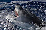 tiger shark, Galeocerdo cuvier, lunging for bait; nictitating membrane is partially covering eye to protect it; North Shore, Oahu, Hawaii, USA ( Central Pacific Ocean )