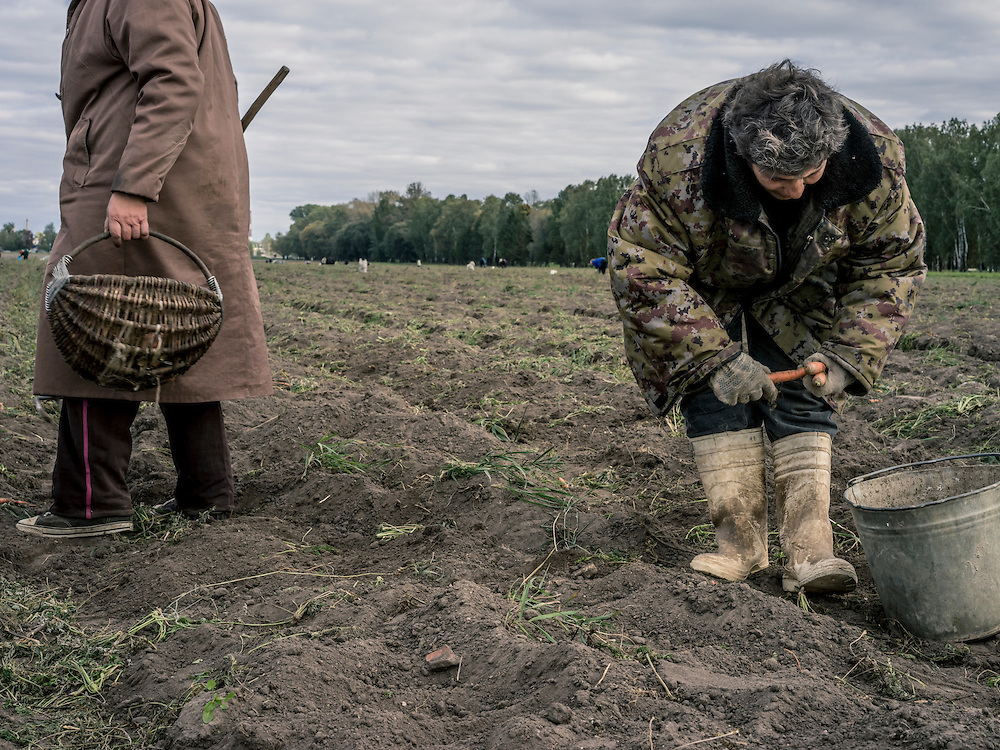 Collective farm workers harvest carrots on Sunday, October 11, 2015 in Babruysk, Belarus. President Alexander Lukashenko was elected to a fifth term today in a vote that most international observers considered deeply flawed.