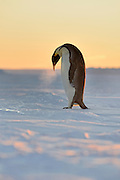 You can see the breath from a  emperor penguin standing on sea ice at sunset.