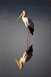 A yellow-billed stork (Mycteria ibis) is reflected in the water of Lake Nakuru in the morning sun, Lake Nakuru, Kenya,Africa