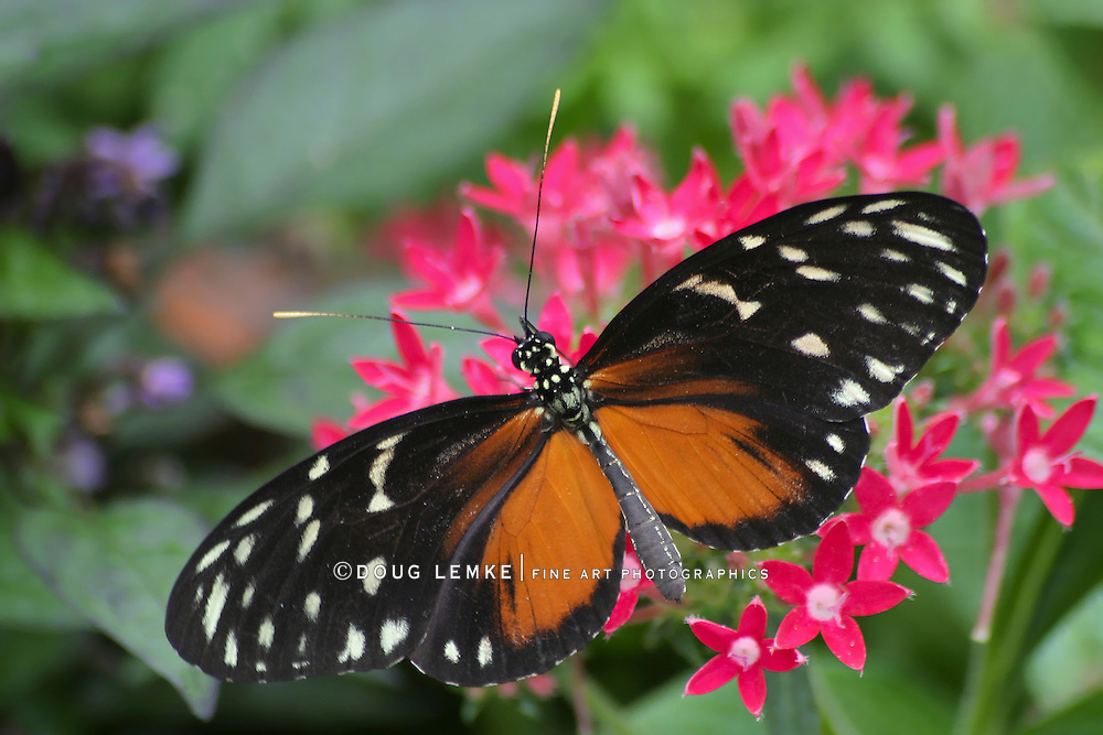 Butterfly, Heliconius Hecale zuleika, Tiger Longwing, Nectaring On Pink Flowers, Longwing