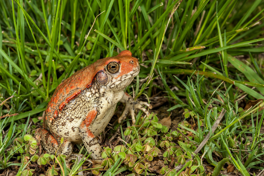 Red toad (Schismaderma Smith)<br /> Marataba, A section of the Marakele National Park, Waterberg Biosphere Reserve<br /> Limpopo Province<br /> SOUTH AFRICA<br /> HABITAT & RANGE: Savanna & woodlands