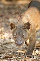 Fosa / Fossa (Cryptoprocta ferox) close-up, intense look, vertical, Western Madagascar.