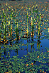 Acadia N.P., ME. Fragrant WaterLily, Nymphaea odorata. Broad leaved cattail, Typha latifolia.