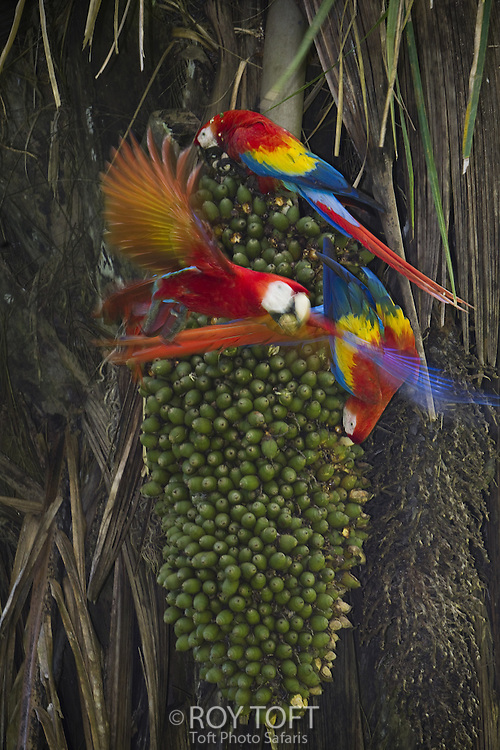 Three scarlet macaws eating palm nuts, Osa Peninsula, Costa Rica