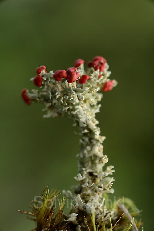 Lichen (Cladonia bellidiflora) with red fruit bodies. High Tauern National Park, Austria. | Flechte (Cladonia bellidiflora) mit roten Fruchtkörpern. Nationalpark Hohe Tauern, Österreich.
