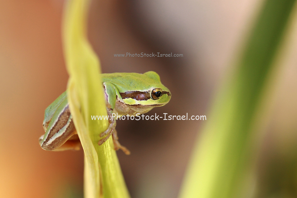 European tree frog, Hyla arborea, Photographed in Israel in October