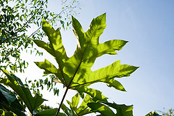 Exotic foliage of Tetrapanax papyrifer against blue sky in the Exotic Garden at Great Dixter. Chinese rice-paper tree, Tung-Tsau