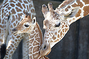 Bogie the baby giraffe, has had to be hand raised at the Memphis Zoo  © Karen Pulfer Focht-ALL RIGHTS RESERVED-NOT FOR USE WITHOUT WRITTEN PERMISSION