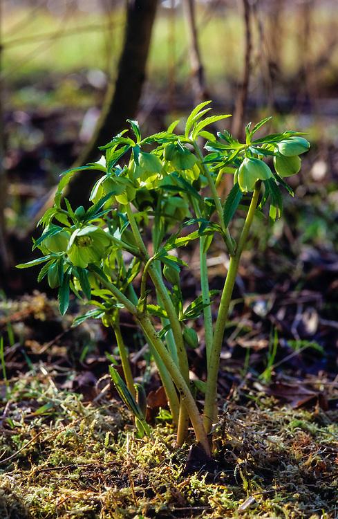 Wrangwortel, Helleborus viridis