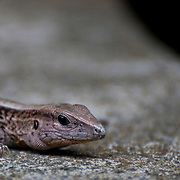 Lizard, Corcovado National Park, Costa Rica.  April 2009.  (Photo/William Byrne Drumm)